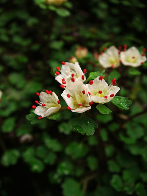 ハナネコノメ (花猫の目) ユキノシタ科