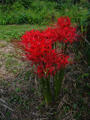 ヒガンバナ (彼岸花) ヒガンバナ科