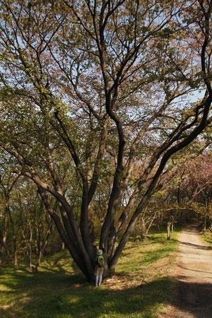 大きな桜の木があった