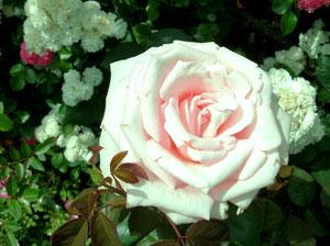 まさに絵に描いた様な薔薇ねw