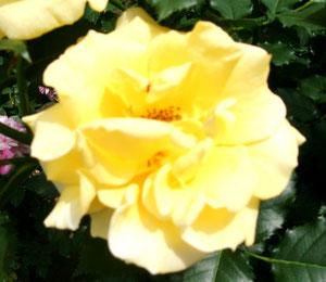 縁起良さそうな黄色い薔薇ね。