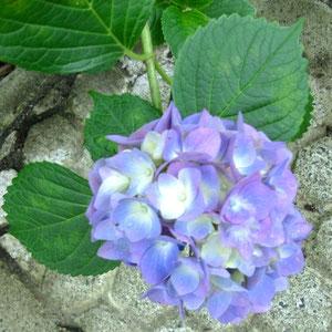 まずは紫陽花ねw