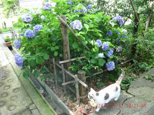 これは、猫ちゃん(=^・^=)と紫陽花ねw