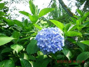 紫陽花がまた咲いてました