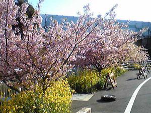 近所の河津桜、菜の花との見事なコントラスト