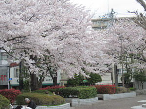 多くの人が桜を満喫していました。