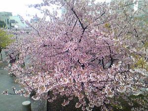 狩野川付近の桜が満開。