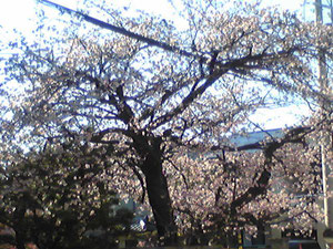 近所の桜満開(ブログとは関係ありません^^)