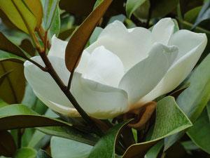 magnolia à l'arboretum d'Ingrannes