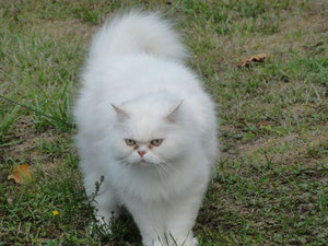 chat persan blanc de Michel et Ghislaine