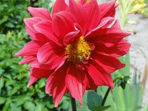 Dalhia à l'arboretum d'Ingrannes