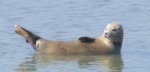 Pensez à réserver votre sortie nature pour découvrir les phoques de la Baie de Somme...sous le soleil!