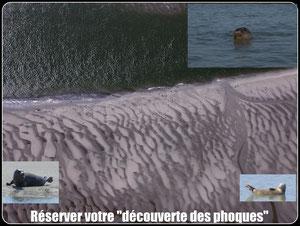 Réservation de la sortie découverte de la colonie de phoques en Baie de Somme avec votre guide nature