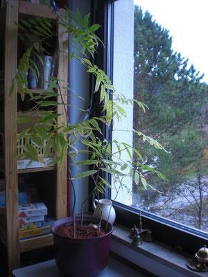 Diese Pflanze haben wir aus einer indischen Waschnuss gezogen.