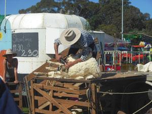 Schafschur in Australien