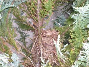 Ein sehr schönes Vogelnest in unserem Lebnsbaum.
