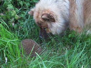 Cesi trifft Igel: Reisen bildet, auch den jungen Hund!