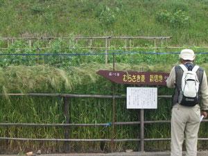 藤川のむらさき麦