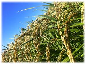 今年もたわわと実った米の穂