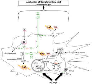 (click to enlarge) Figure 4. Enzymes controlling NAD metabolism in professional antigen presenting cells