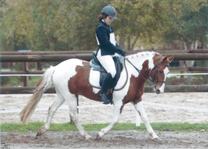 Dressage étalon Pottok