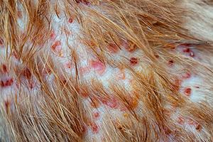 ノミアレルギー性皮膚炎