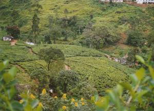 Teeplantage bei Kotagala