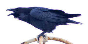 Raven. Photograph taken by Ommarrun, Ómar Runólfsson on flickr and reuable under Creative Commons Licence: Attribution-Noncommercial-Share Alike 2.0 Generic. See Acknowledgements for a link to flickr.