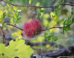 Gallwespe- Diplolepis rosae - Schlafapfel - Bedeguare - Rosenapfel - Wildrosen - Wildsträucher - Heckensträucher - Ökologie - Biodiversität - Nützlinge