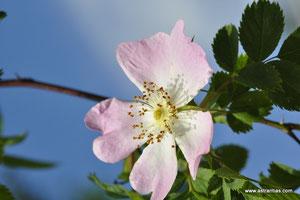 Rosa dumalis-Rosa vosagiaca-Rosa reuteri - Vogesenrose - Blaugrüne Rose - Rosier des Vosges - Rosa dei Vosgi è Rosa selvatica di montagna - Wildrosen - Wildsträucher-Heckensträucher-Ökologie-Wildrose