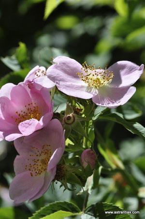 Rosa dumalis-Rosa vosagiaca - Rosa reuteri - Vogesenrose - Blaugrüne Rose - Rosier des Vosges - Rosa dei Vosgi è Rosa selvatica di montagna - Wildrosen-Wildsträucher-Heckensträucher-Ökologie-Wildrose