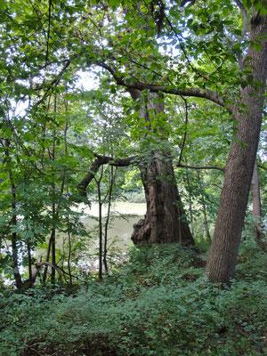 """Mächtige Bäume am Rande des """"Saumains"""""""