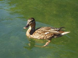 Würden Hunde wirklich eine Ente beschwichtigen?