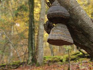 Foto: Zunderschwamm (Karasch)