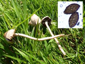 Heudüngerlinge (Panaeolus foenisecii)