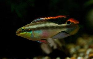 Etwas größer, mit lang ausgezogenen Flossenenden und schlanker kommt das Männchen daher