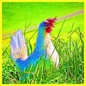 Auf Fotosafari mit glücklichen Hühnern...