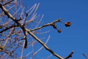 Fruchtmumien