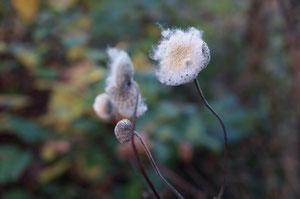 Herbstanemone Samenstand
