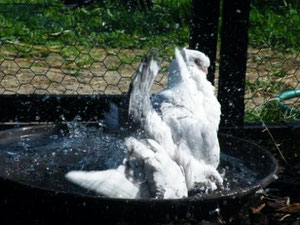 Altorientalische Mövchen beim Bad