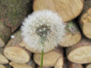 Pusteblume vor einem Holzstabel