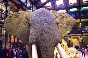 Eléphant d'Afrique. Muséum d'Histoire Naturelle. (Source: M.Clerc)