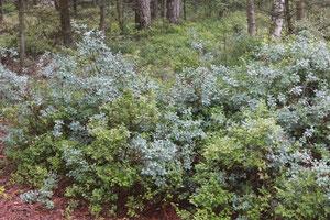 Große Büsche von Heidelbeere und Rauschbeere (Moor-Heidelbeere) - blaugrün die Rauschbeere