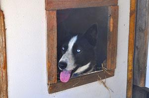 Seppala Husky BOO