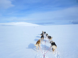 Hundeschlitten Tour  im Vindelälvens Naturreservat