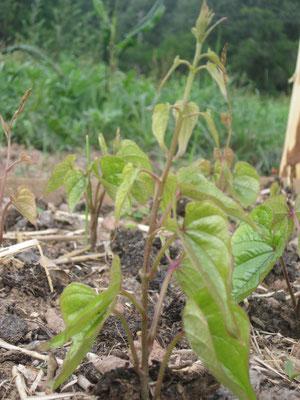 junge Lichtwurzelpflanze