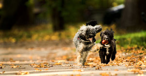 Zwei Hund rennen. Hund hat Kastanie im Maul.