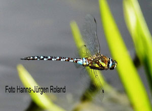 Herbst-Mosaikjungfer, Männchen im Flug