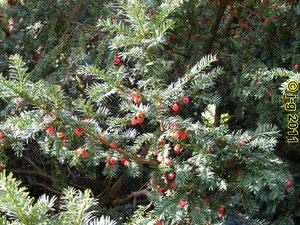 Eibe mit roten Beeren