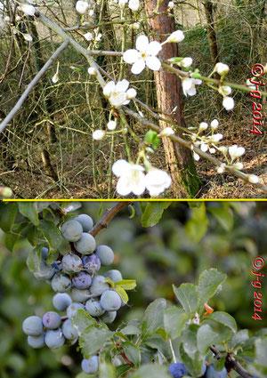Schlehe: oben Blüte, unten Früchte